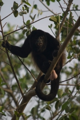 Howler Monkies have several colonies on Isla San Lucas. 2009