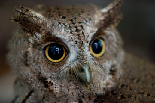 Believed to be a bare-shanked screech owl, this owl was found on the forest floor of Isla San Lucas, Costa Rica. 2009
