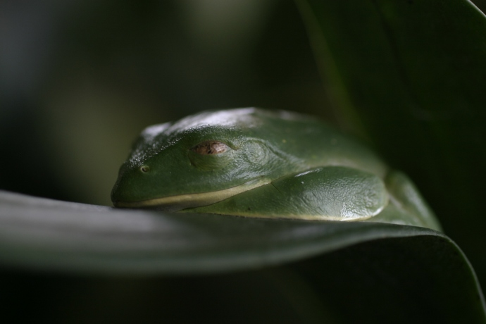 A tree frog sleeps on a leaf, in Cost Rica. 2007