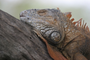 An iguana sleeps in a campus tree at the University of Miami. 2006