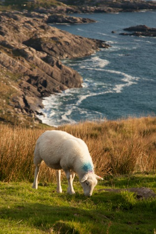 Sheep graze cliff-side in Waterville, Ireland, County Kerry. October 2013.