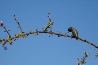 A Costas Hummingbird. Baja California Sur, Mexico. 2016