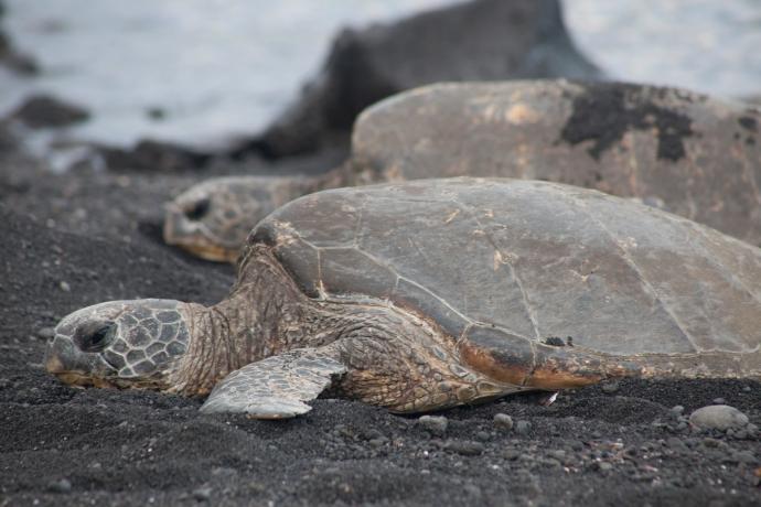 Hawaiian Green Turtles on Punalu'u Beach in Hawaii.
