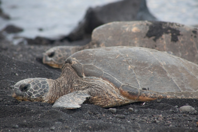 Hawaiian Green Turtles on Punalu'u Beach in Hawaii.