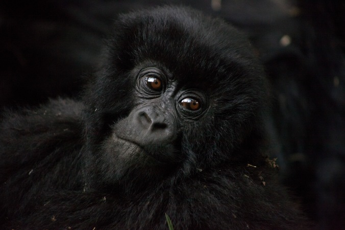 Photograph by Jen Shook of an infant gorilla.