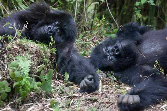 Photograph by Jen Shook of gorillas in Rwanda.