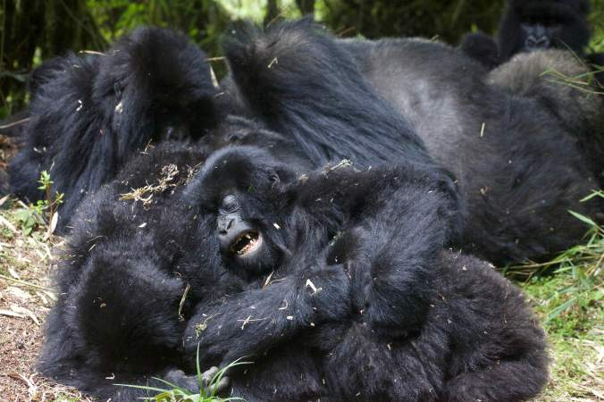 Photograph of infant gorillas playing in Rwanda.