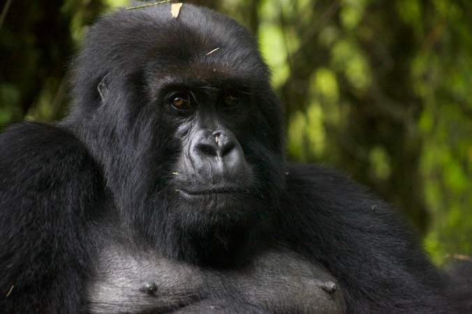 Photograph by Jen Shook of a female gorilla in Rwanda.